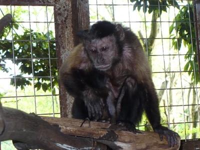 フサオマキザルの画像 p1_6